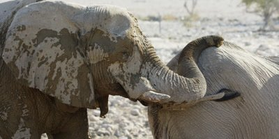 African Bush Elephant approaches watering hole; gently touches another elephant with it's trunk