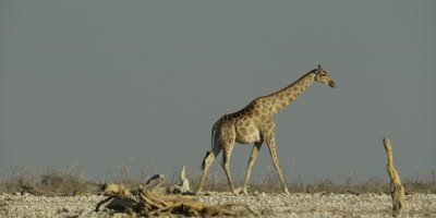 Lone Southern Giraffe walking through a dry, rocky landscape