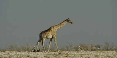 Lone Southern Giraffe walking through a dry, rocky landscape