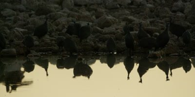 Helmeted Guineafowl drink from a watering hole at sunset