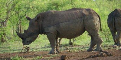 White Rhino - pair covered in mud, one looking toward camera