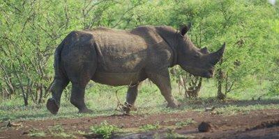 White Rhino - pair covered in mud, one turns toward camera
