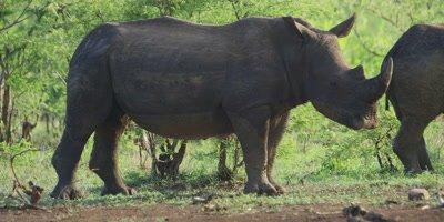 White Rhino - pair covered in mud, one walking