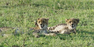Cheetah - pair of cubs lying in grass, wide