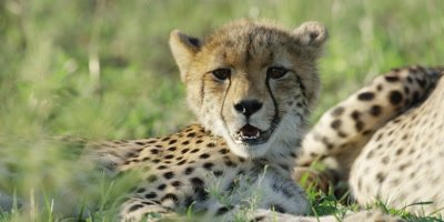Cheetah - pair of cubs lying in grass, one looks toward camera, close