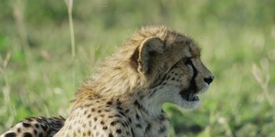 Cheetah - pair of cubs lying in grass, one looking right, close shot
