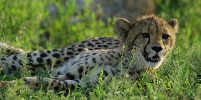 Cheetah - pair of cubs lying in grass, one looking around, close shot