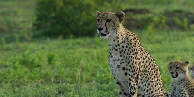 Cheetah - mother sits down, cubs in background