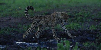 Cheetah - cub walking over mud at waterhole