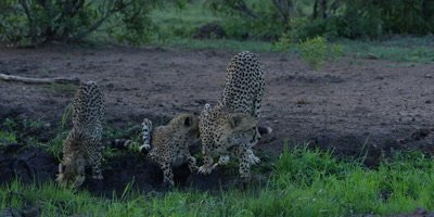 Cheetah - mother and cubs drinking, wide