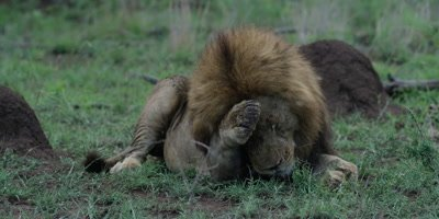 Black-maned Lion - lying down, scratches face with paw, medium shot
