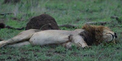 Black-maned Lion - sleeping near kill, medium shot