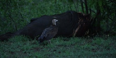 Vulture approaches buffalo killed by lion