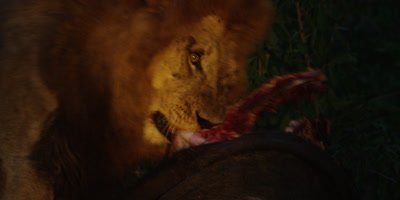 Black-maned Lion - eating buffalo at night, close shot from side
