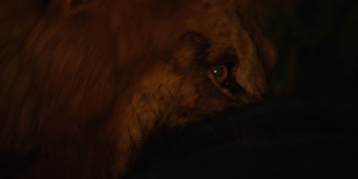 Black-maned Lion - eating buffalo at night, close shot of eyes