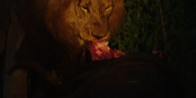 Black-maned Lion - eating buffalo at night, ripping meat, medium shot