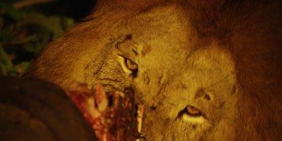 Male Lion on Buffalo Kill