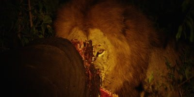 Black-maned Lion - eating buffalo at night, ripping meat, medium shot 2