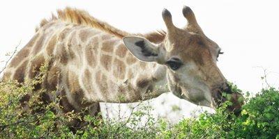 Giraffe - eating from bush