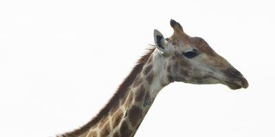 Giraffe - head and neck against white sky, turns toward camera