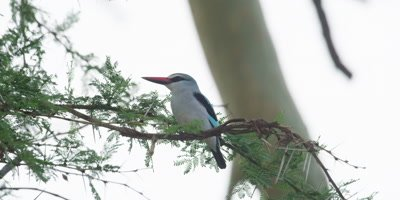 Woodland Kingfisher - perched on branch, hops round