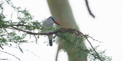 Woodland Kingfisher - perched on branch, flies away