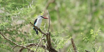 Woodland Kingfisher - perched on branch, looking around, medium shot
