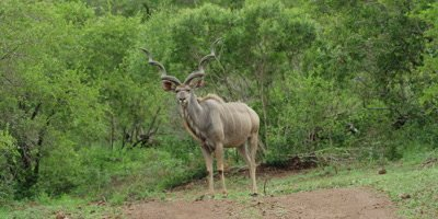 Kudu bull - standing in road, huge horns, wide shot