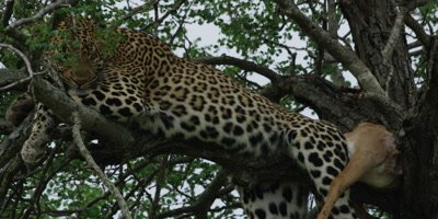 Leopard - with kill in tree, pan from carcass, close shot