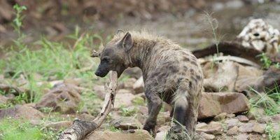 Hyena - walking away then biting branch