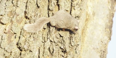 Smith's Bush Squirrel - on tree, scurries away