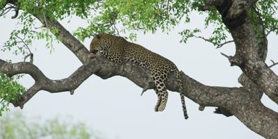 Leopard - lying on branch, licking paw, wide shot