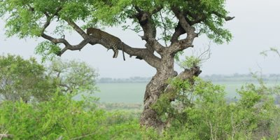 Leopard - lying on branch, very wide, scenic shot