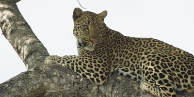 Leopard - lying on branch, looking toward camera, slow zoom out
