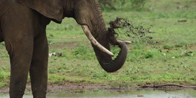 Elephant - taking mud bath, close shot