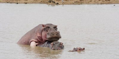 Hippo - mating in water, wide shot