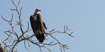 Hooded Vulture - perched on tree, wide shot
