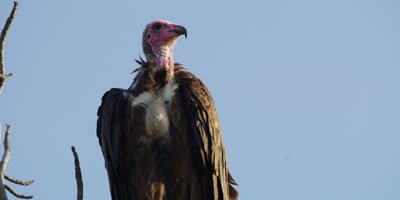 Hooded Vulture - perched on tree, close shot