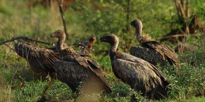 Vultures - group on ground near carcass