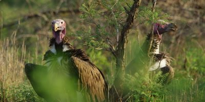 Lappet-faced Vulture - pair on ground, medium shot