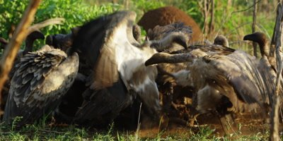 Vultures on kill - pair fighting in front of kill