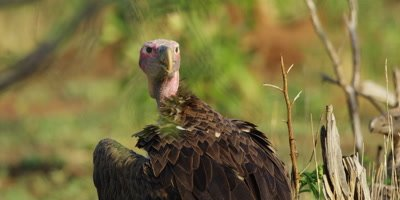 Lappet-faced Vulture - standing on ground, close shot