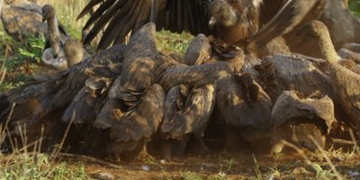 Vultures on kill - group fighting to get to carcass, medium shot