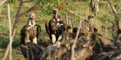 Lappet-faced Vulture - pair on ground near carcass, wide shot