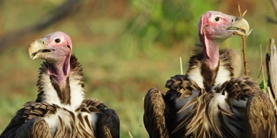 Lappet-faced Vulture - pair on ground near carcass, close up of heads