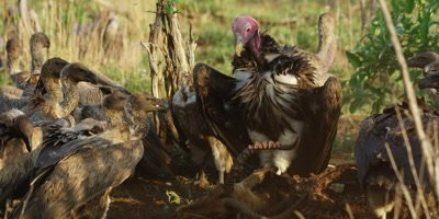 Vultures on kill - lappet-faced vultures assert dominance