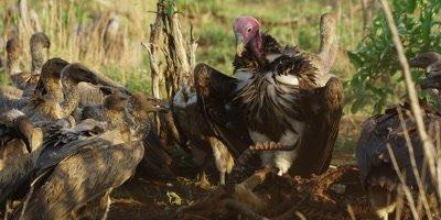 Vultures on kill - lappet-faced vultures assert dominance