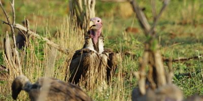 Lappet-faced vulture - standing on ground, other vultures feeding in foreground