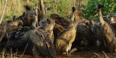 Vultures on kill - group squabbling over carcass