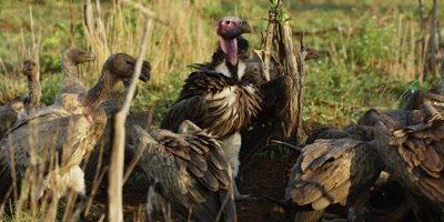Vultures on kill - group eating carcass, pan